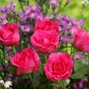 red_rose_11.jpg